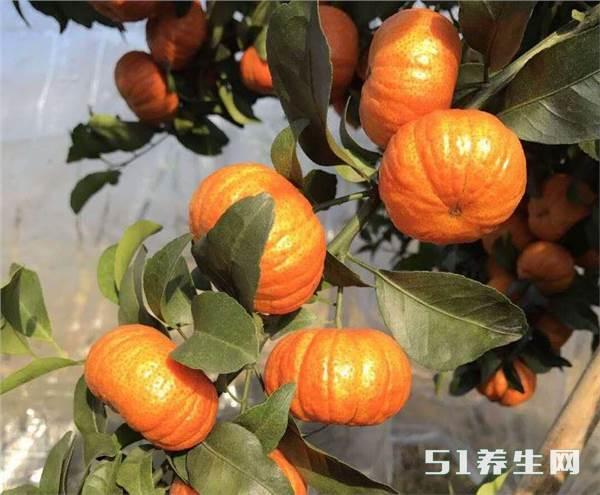 果农培育出个橘子新品种,长得像灯笼,价格却是普通橘子的3倍!