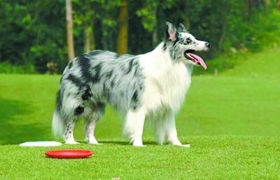 世界犬种智商 br 排行TOP10 凤凰资讯