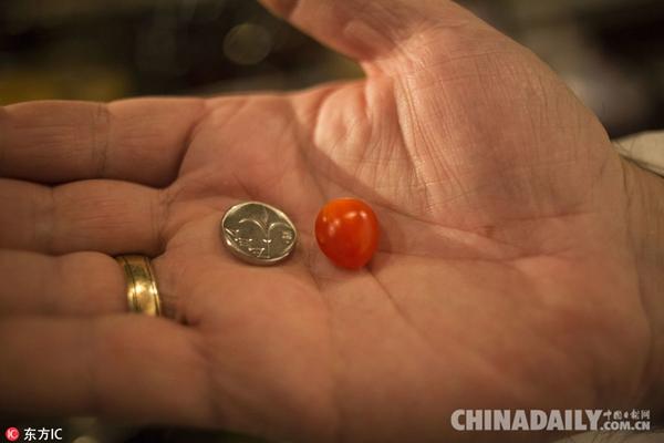 以色列培育出世界最小番茄品种 果实与蓝莓差不多大