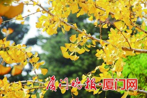 """厦门植物并非都""""四季常绿"""" 树木换冬装织美景"""