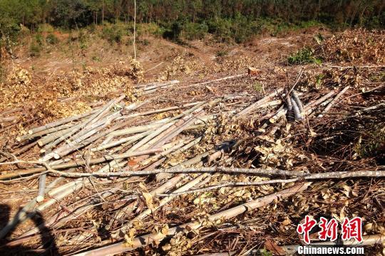 图为滥伐林木现场。 查明坤摄