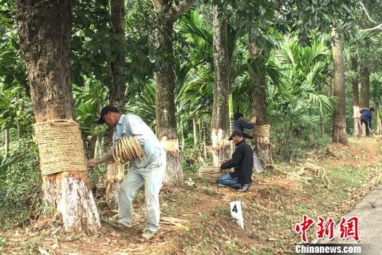 图为树木被毁坏后相关部门采取保活措施。 钟欣摄