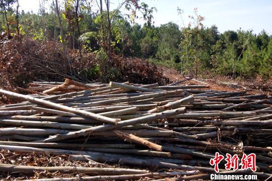 图为非法采伐的桉树。 查明坤摄