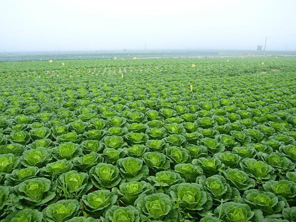 一县一品助农行动,为家乡农产品喝彩!天然空调城,太白甘蓝图片