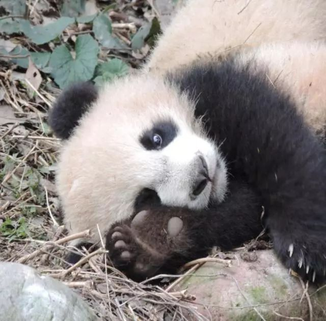 伪拇指,就是靠近熊猫右眼的那个肉垫。这个指上并没有爪子。熊猫的后掌并没有第六根指头。如果你有机会看到熊猫的前脚印,会是六个指印,五个爪印。图片来源:Thibaud Despres / animalli.com 和各种熊相比,熊猫的咬合力仅次于北极熊和棕熊,它具有强大的咀嚼肌,头骨重且厚,为强大的咬合力提供了结构支持(脸大有原因)。吃竹子就像啃黄瓜似的,齐齐整整地咬断,绝不拖泥带水。这种平整的食痕,是野外鉴定熊猫的标志之一。所以,不要随意去摸熊猫,当心抓着你的手吭哧一口