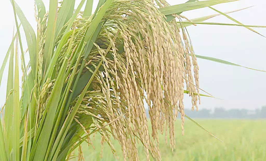 我国转基因水稻获美国食用许可!为何美国让吃,我们还不让种?