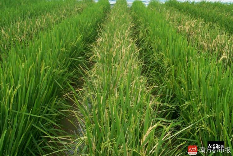 华中农大转基因水稻通过美国审核 可以卖但没地方种