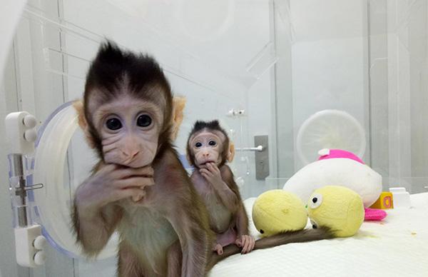 体细胞克隆猴第一人:技术无法申请专利,领先窗口期仅有一年