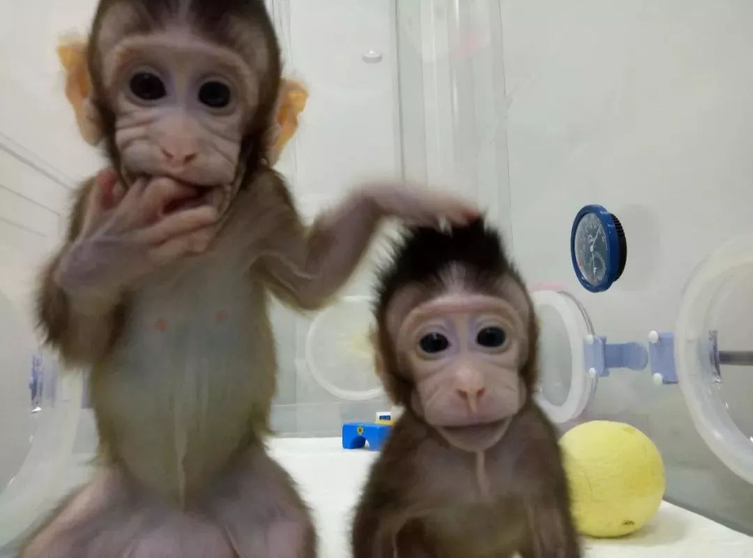 克隆猴技术没亮点?喝酒能防冻疮?1月科学流言榜新鲜出炉