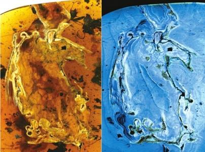 煎饼鸟标本自然光照片与荧光照片。