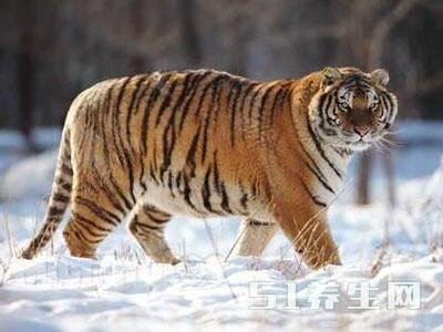 认为现存最大的猫科动物,就是西伯利亚虎,也称东北虎