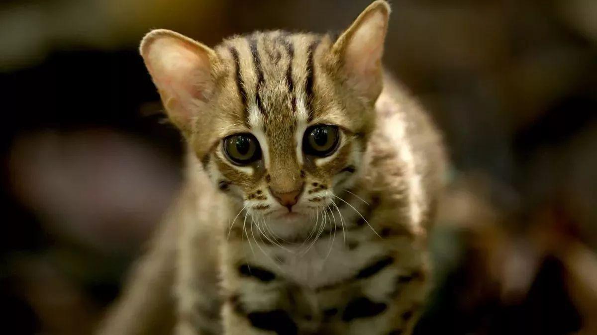 """原标题:世界上一共38种猫科动物,他们一口气吸了25种! 有一种猫你肯定没吸过:黑足猫。这种看上去小巧玲珑的大眼猫,却被封为""""世界上最致命的猫科动物"""",它的捕猎成功率高达60%。 这个黑足猫的片段来源于BBC Earth最新的旗舰纪录片《大猫》。这个拍摄了《地球脉动》《蔚蓝星球》等史诗级纪录片的单位,卖起萌来也是毫不含糊。实际上,能够拍到小黑足猫,也拜拍摄的新技术所赐:自动快门探测到了它们的动静,难得地记录下了它们捕猎的英姿。这样动人心弦的瞬间是如何捕捉并最终呈现给我们的呢?我和这"""