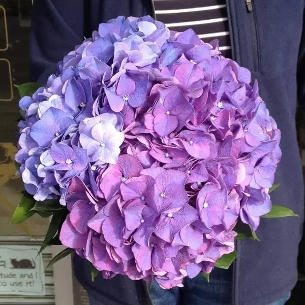 大花葱 花序球形的切花比较常见的还有大花葱Allium giganteum和百子莲Agapanthus africanus。大花葱(不是大葱花)最常见的是紫色的,开出来是一个密密麻麻的大花球,百子莲的花就要松散得多,开花一般是紫蓝色或者天蓝色,也有白色的品种,这俩都适合没有密集恐惧症的朋友。