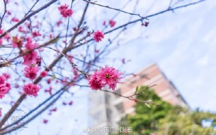 目前华农樱花开得最好的是中国红,主要集中在 华农儒园和动物科学学院
