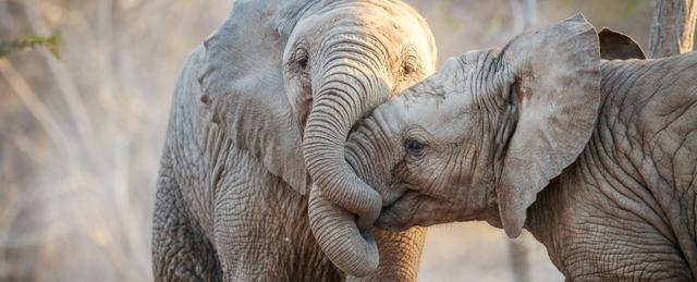 科学家发现大象具有抵御癌症的神奇能力,人类可能有救了!