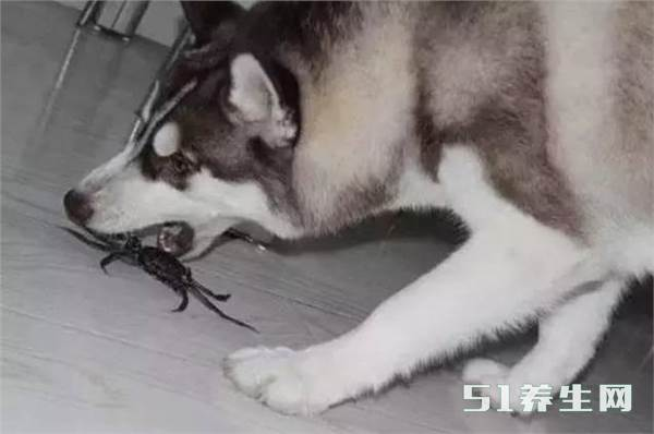 笑喷!哈士奇看到螃蟹非要大战一场,大战几十回合结果悲剧了_图2