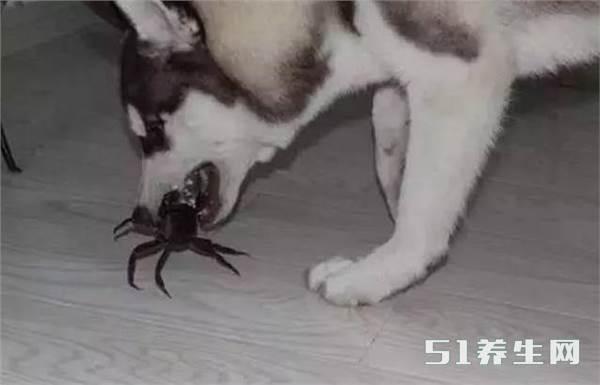 笑喷!哈士奇看到螃蟹非要大战一场,大战几十回合结果悲剧了_图3