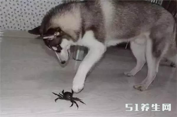 笑喷!哈士奇看到螃蟹非要大战一场,大战几十回合结果悲剧了_图1