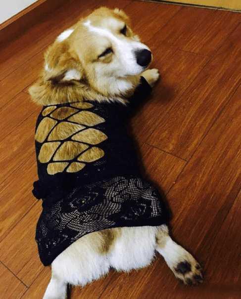 3.买家的狗狗穿上买家的情趣装,还真是有些小魅力了