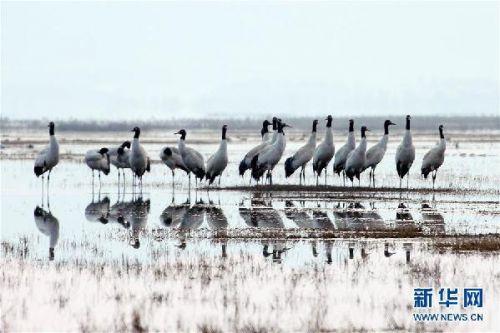 #(环境)(2)贵州草海:越冬候鸟陆续北迁