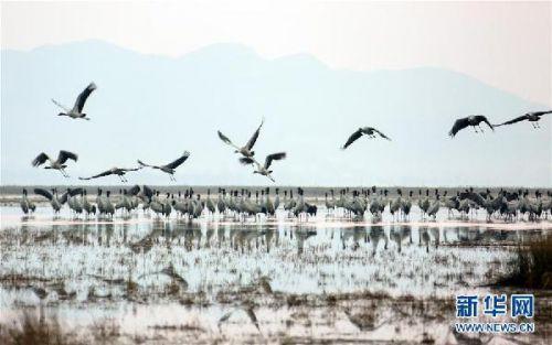 #(环境)(1)贵州草海:越冬候鸟陆续北迁