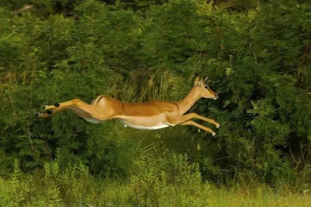 猎豹追杀羚羊:该配合你演出的我演视而不见……
