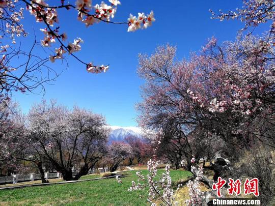 图为盛开的林芝桃花。 杨丹丹 摄