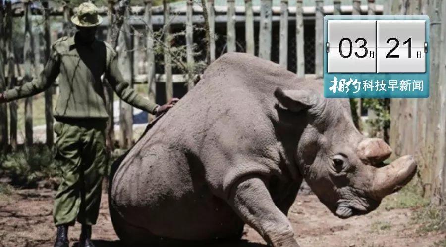白犀牛接受安乐死 一头公犀牛…