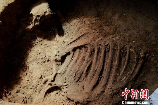 图为在祭祀坑中发现了较为完整的一架牛骨。 梁�� 摄