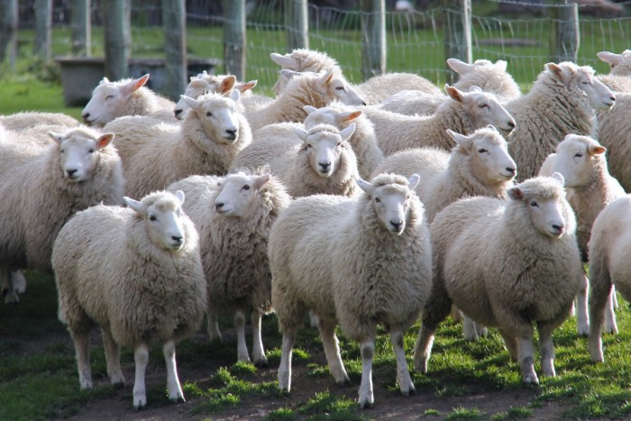 sheep_lamb_walter_peak_farm_farm_autumn_travel_queenstown_new_zealand-489921.jpg