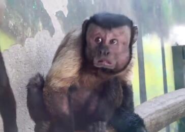 3月23日,天津动物园,最近有一只长相似人脸的猴子蹿红于网络,许多人前