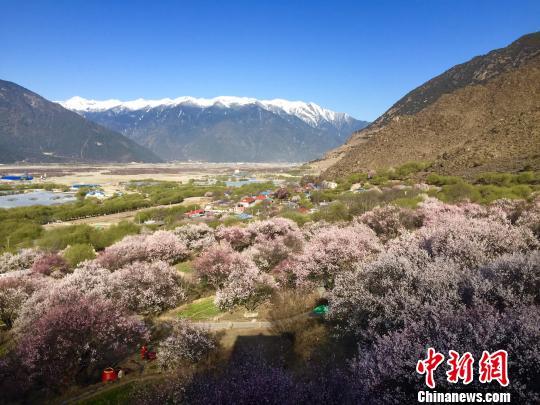 图为嘎拉村盛开的桃花。 赵朗 摄