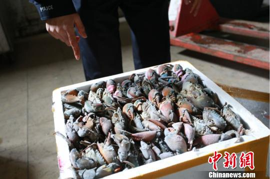 南京海关近期破获了一起走私海蟹大案,案值达2.85亿元。 衣晓东 摄