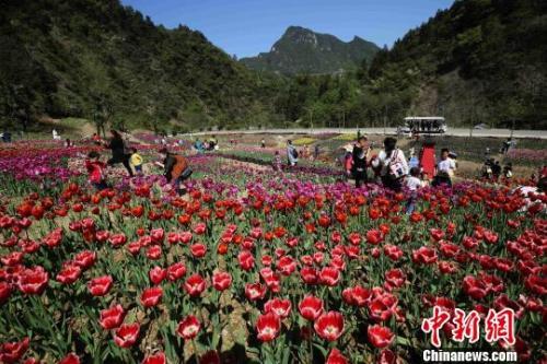 资料图:4月2日,游人在张家界老道湾景区郁金香花海赏花游玩。 吴勇兵 摄