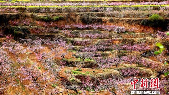 赏桃花的最佳时间不容错过。4月4日至6日清明小长假前后半个月内,桃花怒放、漫山遍野、蔚为迷人,正是最佳赏花期。 梁�� 摄