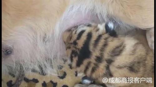小老虎刚出生被虎妈弃养,宜宾动物园找来狗娘养