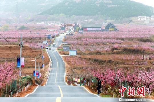 在刘台桃花源景区13公里长的肥桃路两侧,桃树沿山地地形自然错落分布,隔而不绝,层次分明。 梁�� 摄