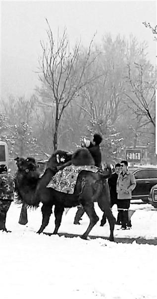 八达岭动物园再现伤人事件:老人骑骆驼被摔翻在地