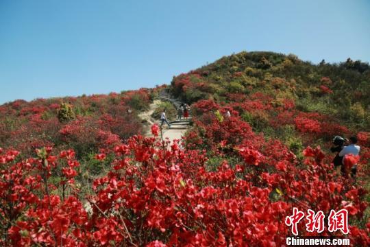4月9日,江西省赣州市石城县高田镇八卦脑景区杜鹃花竞相开放,游客在