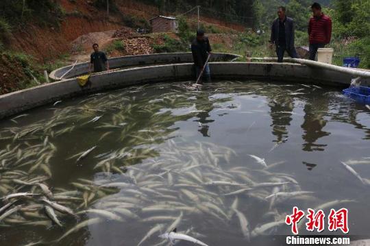 图为养殖场遭人为投毒致大量鲟鱼死亡。 王炳炎摄