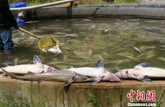 图为养殖户正在打捞死亡的鲟鱼。 颜新阳摄