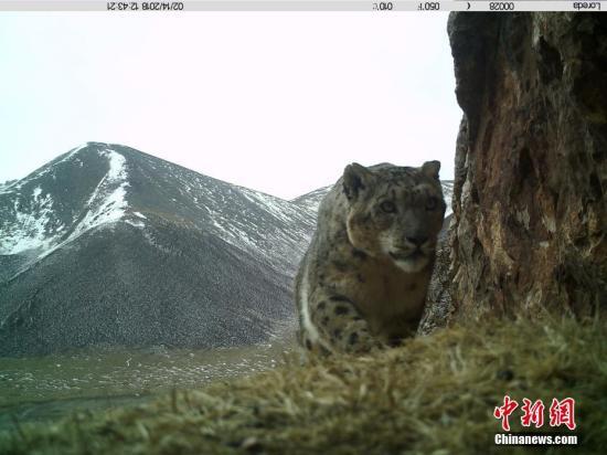 青海湖畔首次记录到雪豹活动画面