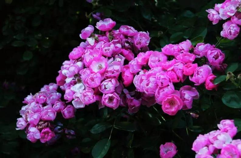 孕妇梦见粉色蔷薇花