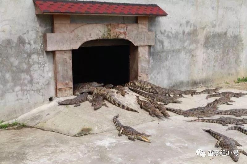 法院网拍活鳄鱼:竞拍者需有合法资质