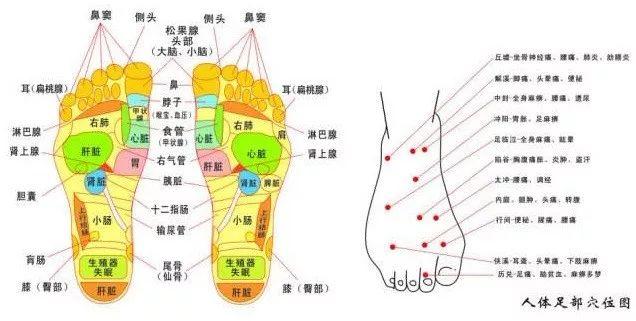 人体五脏六腑固)�_器官相连接的反射区,分别对应于人体五脏六腑.