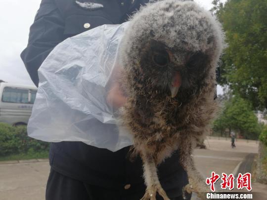 图为得到救助的灰林�^幼鸟。 钟欣 摄