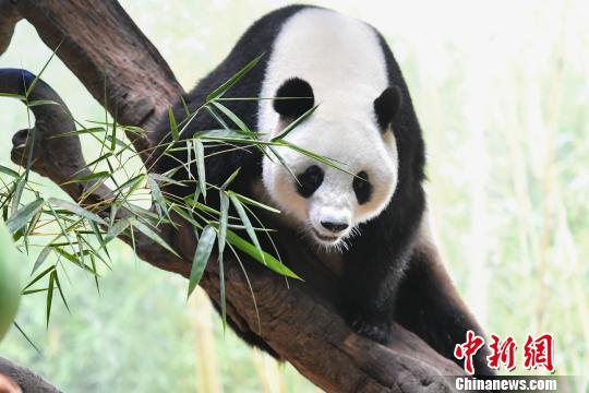 """广州长隆野生动物世界11日宣布,在该园区繁育、也是华南地区诞生的首只大熊猫""""隆隆"""",已成功参与国家大熊猫繁育计划,目前身体状况良好,有望升级当妈。 陈骥�F 摄"""