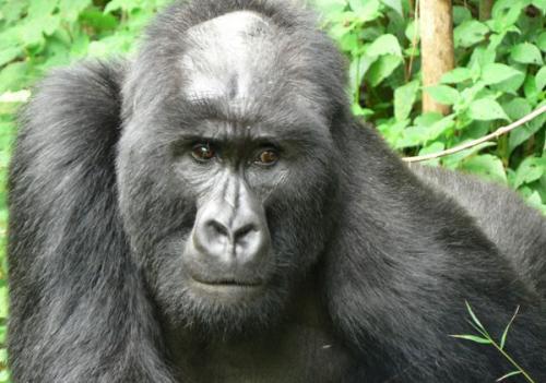 资料图片:谢顶的秃头大猩猩。