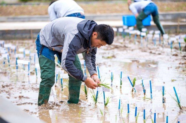 全国海水稻在青同田竞技20日开始插秧10月即可成熟