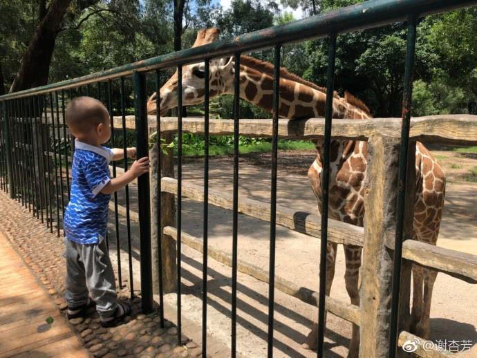林丹老婆带儿子喂长颈鹿,宝宝手都伸到栅栏里了,网友担心太危险